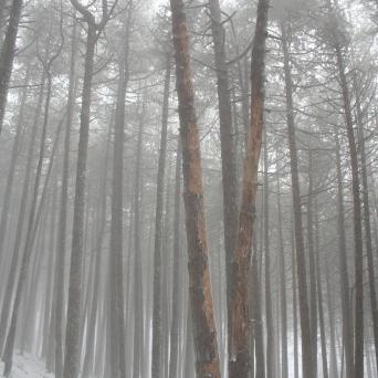 Black pine forest (Cazorla, Spain)