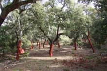 Cork Oak Forest (Málaga, Spain)