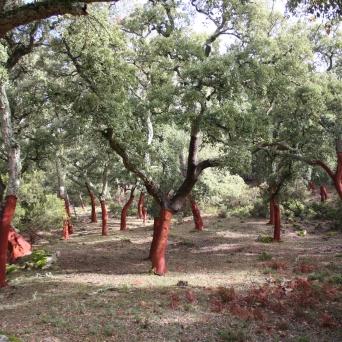 Cork Oak Forest (Málaga, Spain)
