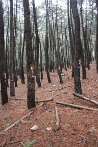 Downed woody debris in Fuencaliente Experimental site (ES)