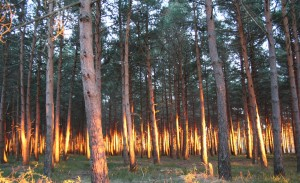 Sunset at Scots pine forest in Villasur de Herreros (Burgos, ES)